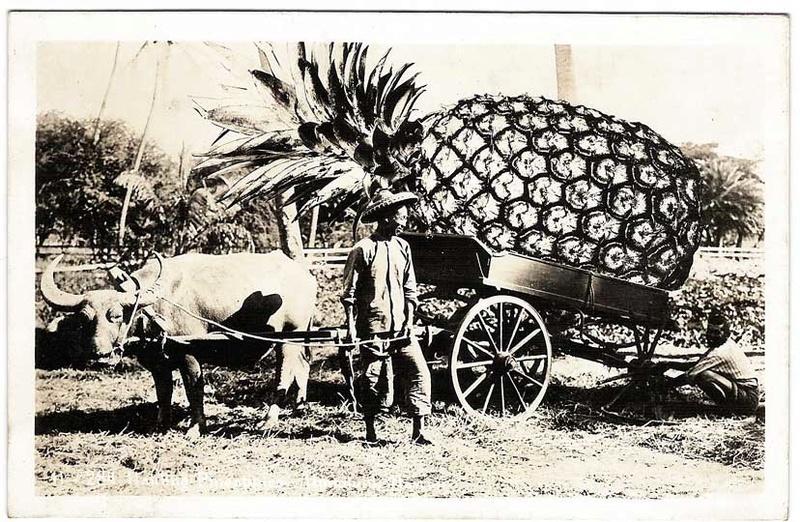 la culture de l'ananas - Page 4 Pineap10