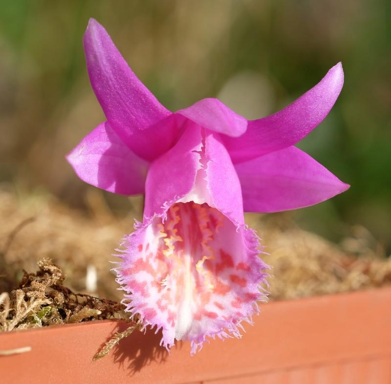 Orchideen 3 (fortlaufende Seiten 300 bis 400) - Seite 20 Pleion10