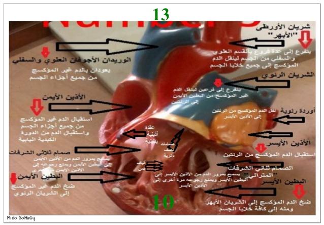 اهم شرائح ومجسمات العملي احياء 2 ثانوى 2019 2-14-610