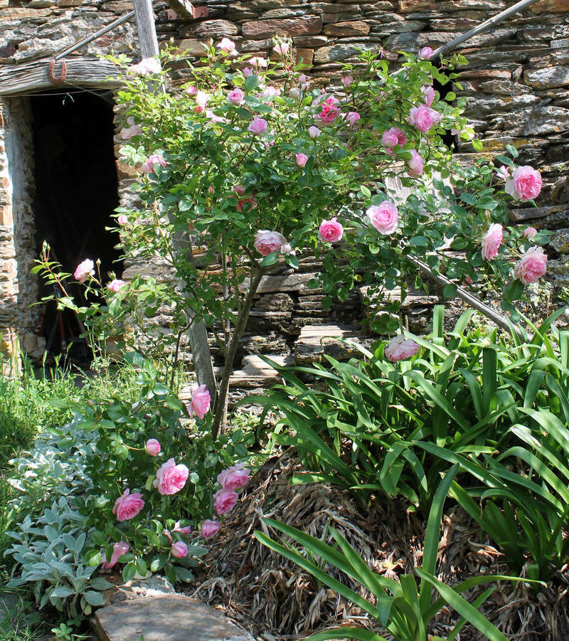 Roseraie du Chatelet (Sauvageot  2000 ) Img_0222
