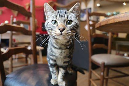nouky - NOUKY mâle européen tigré né le 28/05/2017 Nouky_10
