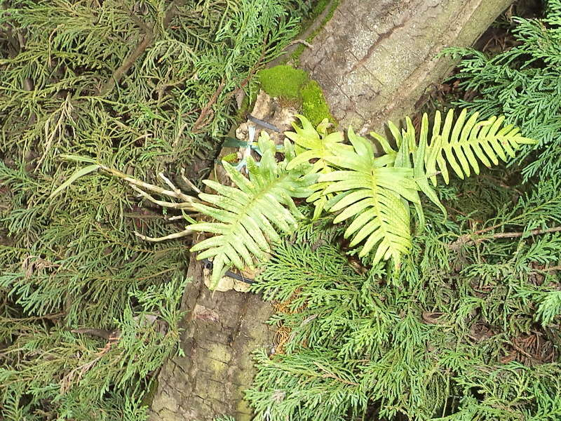 Support à épiphytes et broméliacées rustiques - Page 2 Dsc02229