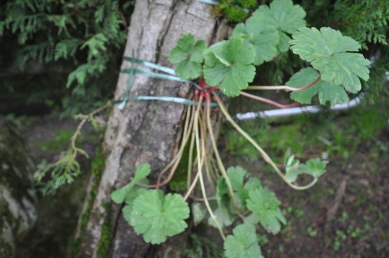 Support à épiphytes et broméliacées rustiques - Page 2 Dsc_0212