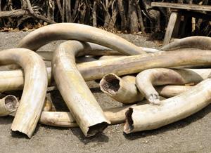 Lancasterer vendeur d'ivoire brut Dwfstz10