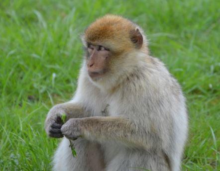 tête de singe Captur10