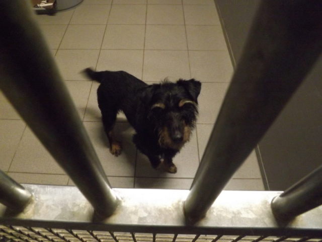 FAXx - jadg terrier 8 ans - Refuge Animal sans Toit à Grace Hollogne (Belgique) 10463310