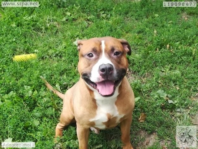 Titan Américan-Staff.-Terrier, Mâle 7 ANS 119.098.477 Cointe 11018