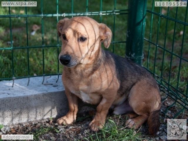 MaxCroisé Jack-Russel-Terrier, Mâle 2 ANS 118.095.594 Cointe 1552