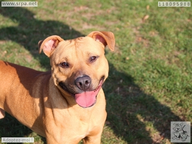 Mayrone American-Staff.-Terrier, Mâle 1 AN 319013459Vinalmon 1608