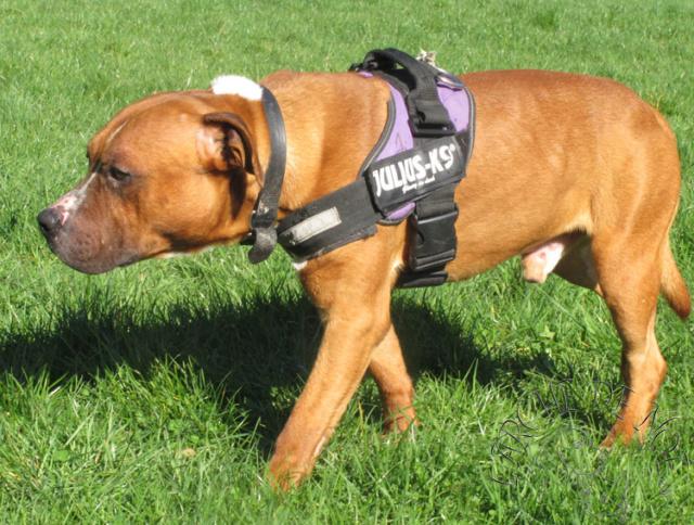 Kenzo Mâle  American Staffordshire Terrier L'Arche de Noé 1956