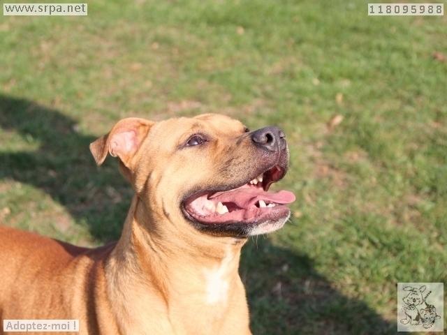 Mayrone American-Staff.-Terrier, Mâle 1 AN 319013459Vinalmon 2508