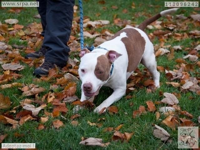 Maya American-Staff.-Terrier, Femelle 1 AN 118.096.242Cointe 2518