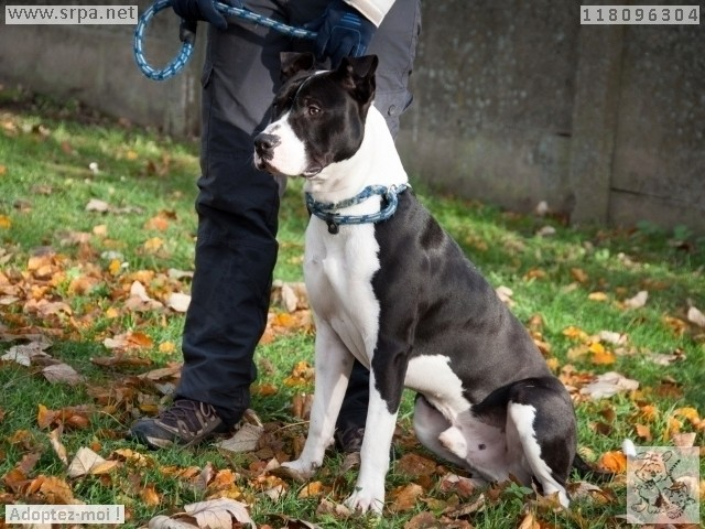 Paco American-Staff.-Terrier, Mâle 1 AN118.096.304 2527