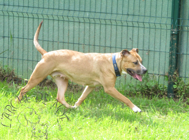 Louna Femelle American Staffordshire Terrier L'Arche de Noé 2797