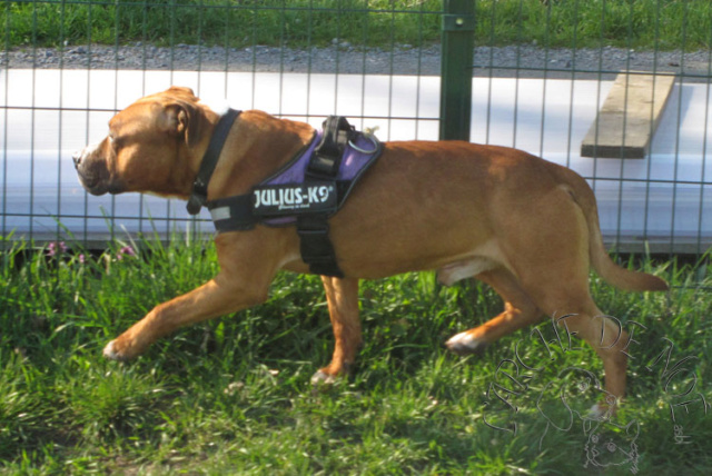 Kenzo Mâle  American Staffordshire Terrier L'Arche de Noé 2799