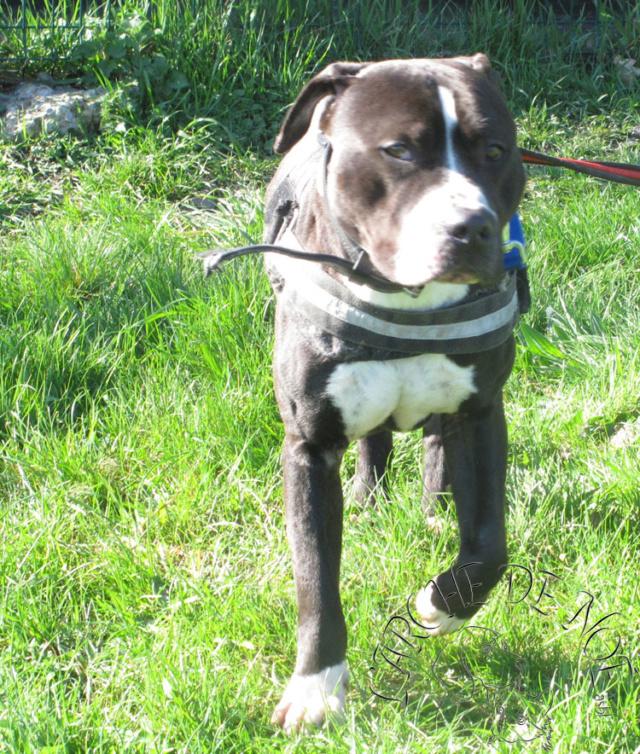 Salam Mâle American Staffordshire Terrier L'Arche de Noé 2804
