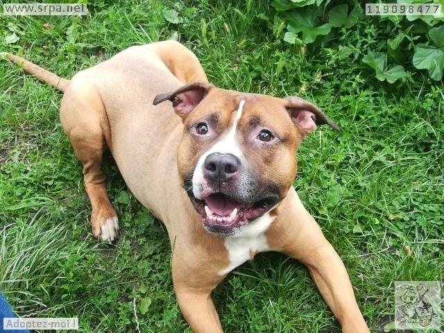 Titan Américan-Staff.-Terrier, Mâle 7 ANS 119.098.477 Cointe 2859