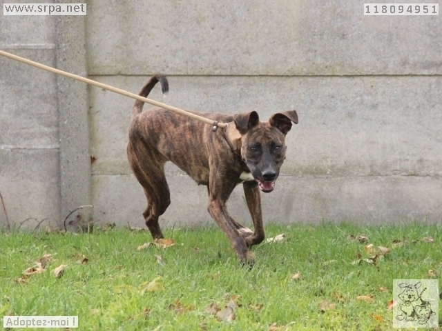 Lety American-Staff.-Terrier, Femelle 2 ANS 118094951 Cointe 3412