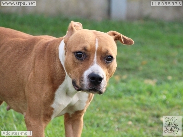 Lily American-Staff.-Terrier, Femelle 3 ANS 118.095.975 3450