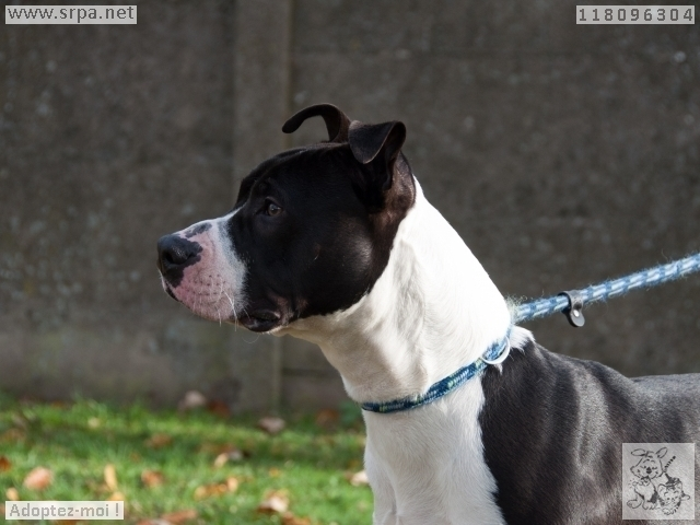 Paco American-Staff.-Terrier, Mâle 1 AN118.096.304 3459