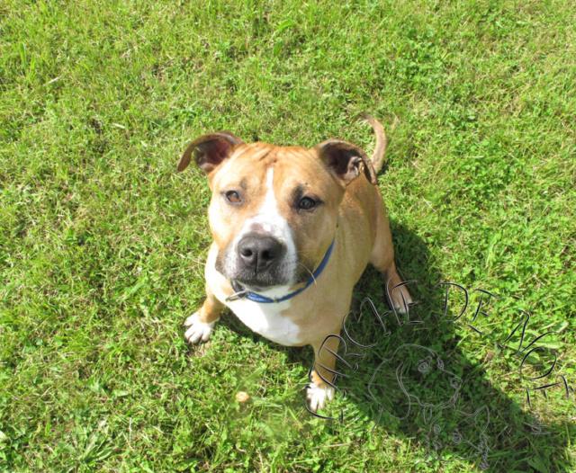 Louna Femelle American Staffordshire Terrier L'Arche de Noé 3677