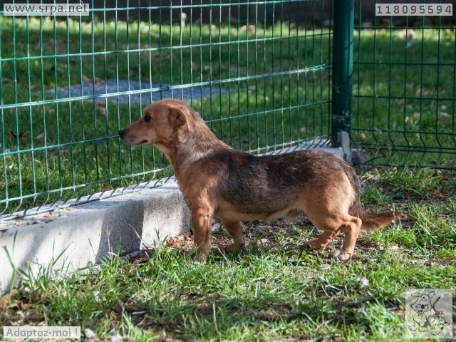 MaxCroisé Jack-Russel-Terrier, Mâle 2 ANS 118.095.594 Cointe 4327