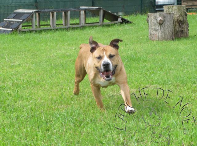 Louna Femelle American Staffordshire Terrier L'Arche de Noé 5460