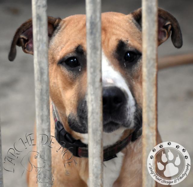 Louna Femelle American Staffordshire Terrier L'Arche de Noé 7b83ac10