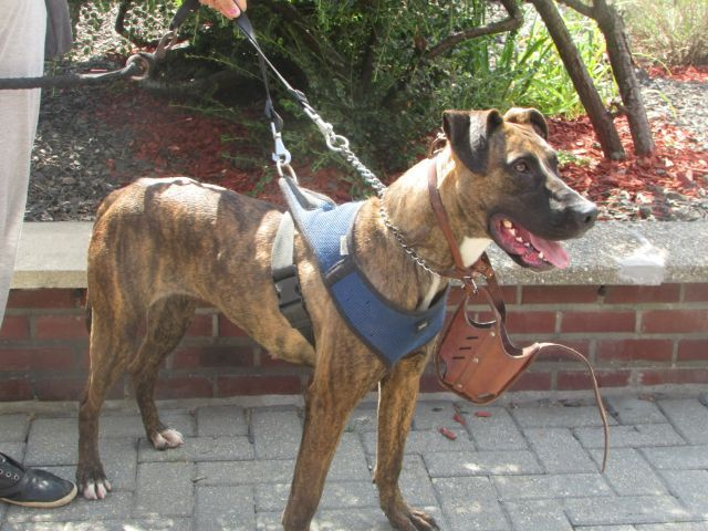 Lety American-Staff.-Terrier, Femelle 2 ANS 118094951 Cointe I1094913