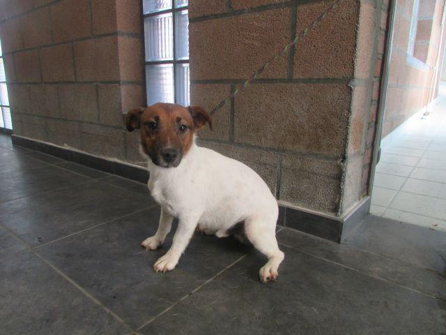 Obélix Jack-Russel-Terrier, Mâle 2 ANS 118.095.598Cointe I1095526
