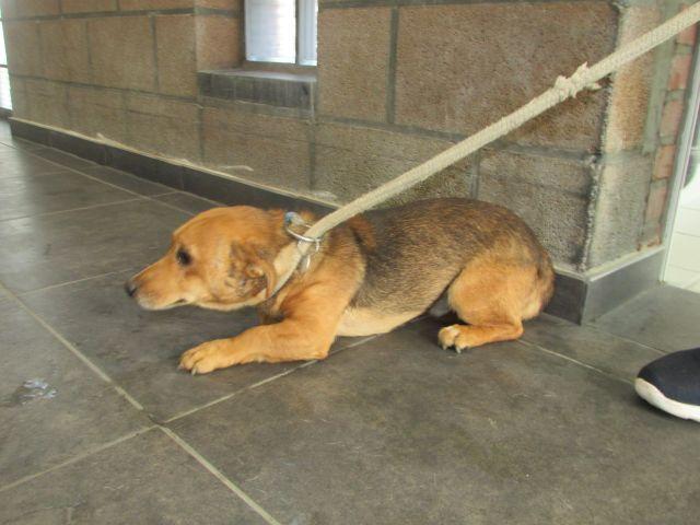 MaxCroisé Jack-Russel-Terrier, Mâle 2 ANS 118.095.594 Cointe I1095544