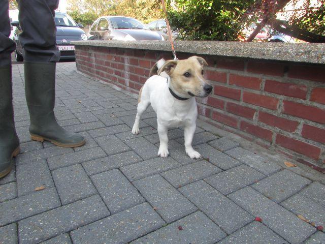 Jack Jack-Russel-Terrier, Mâle 2 ANS 118.095.601 Cointe  I1095624