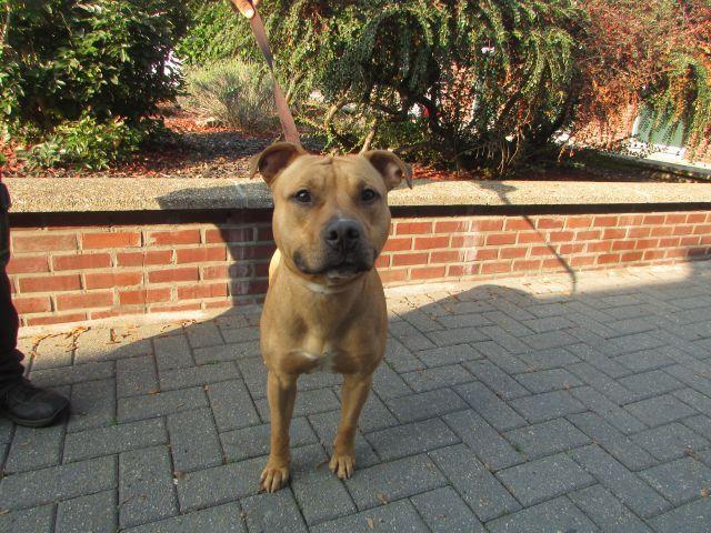 Mayrone American-Staff.-Terrier, Mâle 1 AN 319013459Vinalmon I1095919
