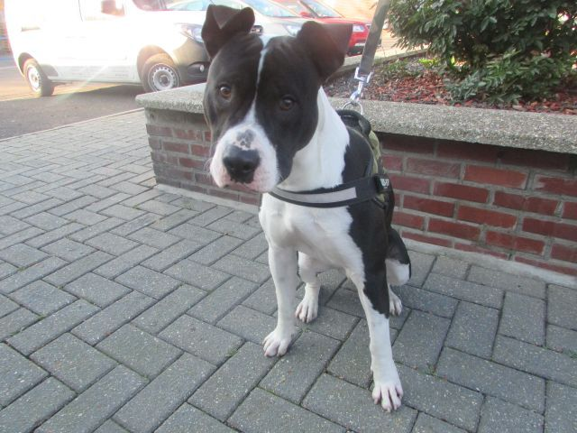 Paco American-Staff.-Terrier, Mâle 1 AN118.096.304 I1096314