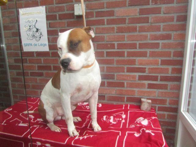 Gus American-Staff.-Terrier, Mâle 5 ANS 118.096.386Cointe I1096317