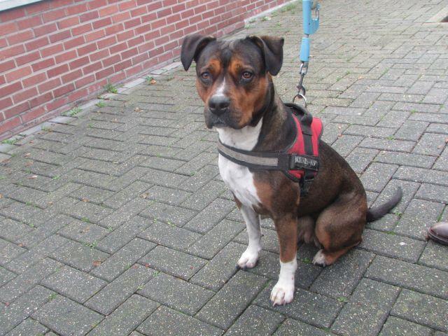 Lola American-Staff.-Terrier, Femelle 3 ANS Cointe I1096343