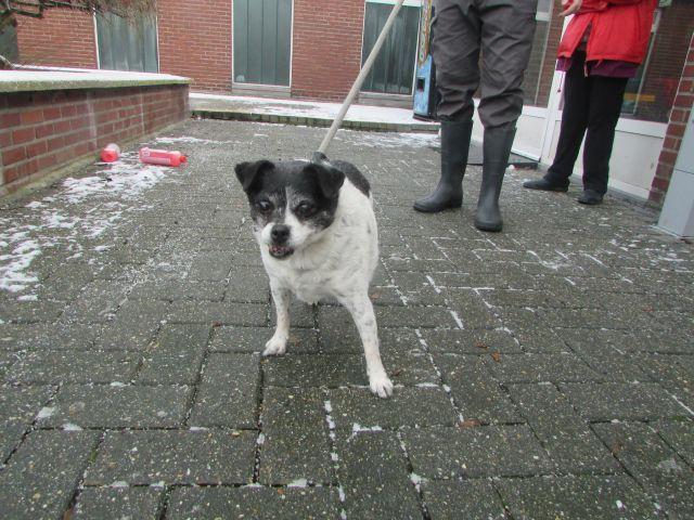 CALINE - jack russel 12 ans - Refuge de Cointe (Belgique) I1096644