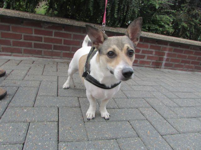 Chipie Jack-Russel-Terrier, Femelle 1 AN 119.098.500 Cointe I1098511