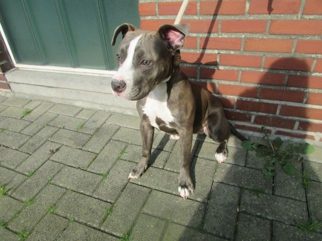 Mia Américan-Staffordshire-Terrier, Femelle 1 AN  Arlon I4013659