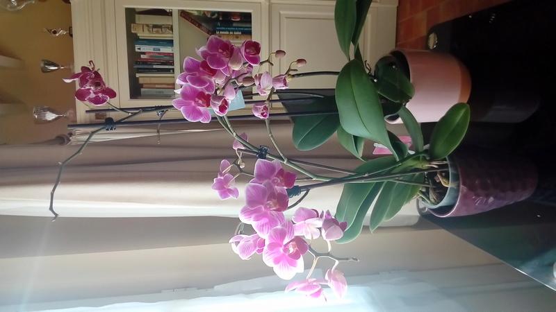 Je vous présente mes Orchidées P_201715