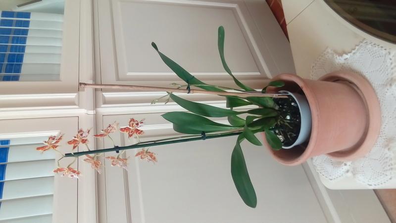 Je vous présente mes Orchidées P_201717