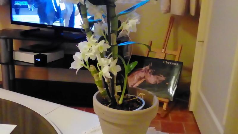 Je vous présente mes Orchidées P_201738