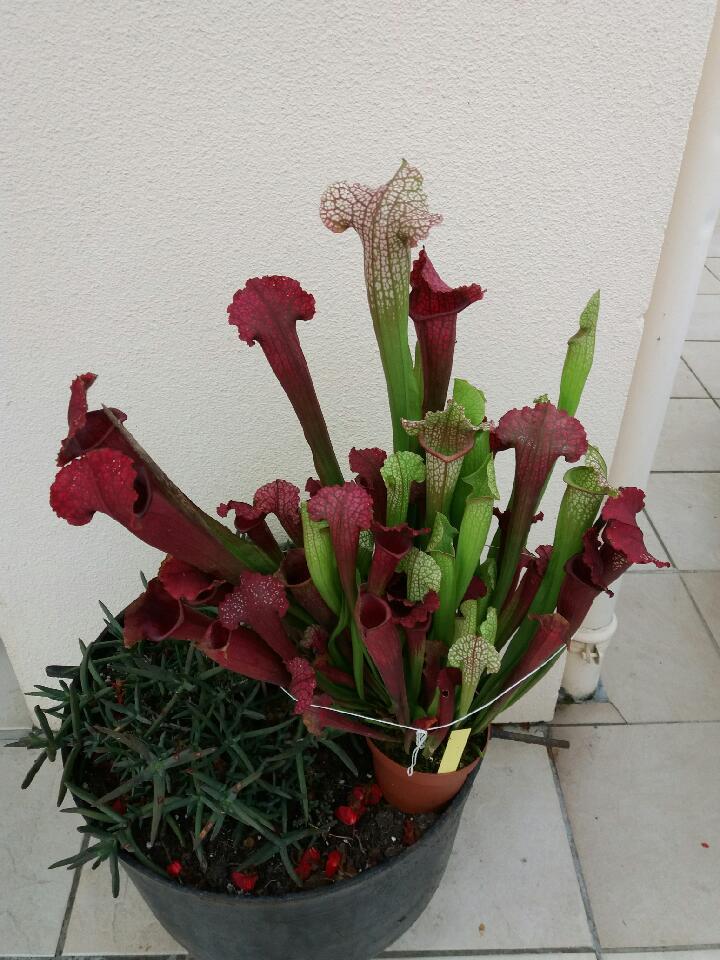 Entretien Sarracenia 'Juthatip Soper' Attach10