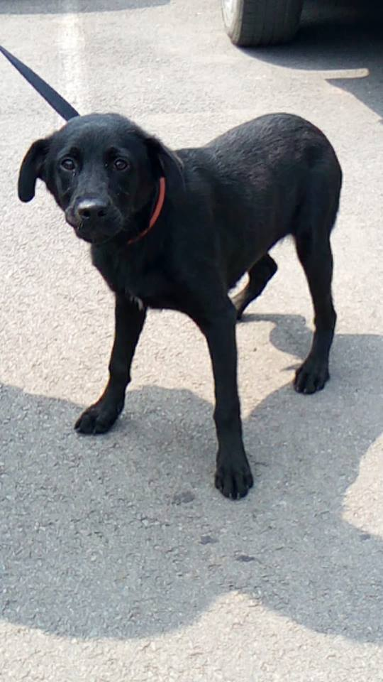 FRISBEE x labrador noir male de 9 mois de Béthune -  La Tribu de Sapeur (14)  34774710