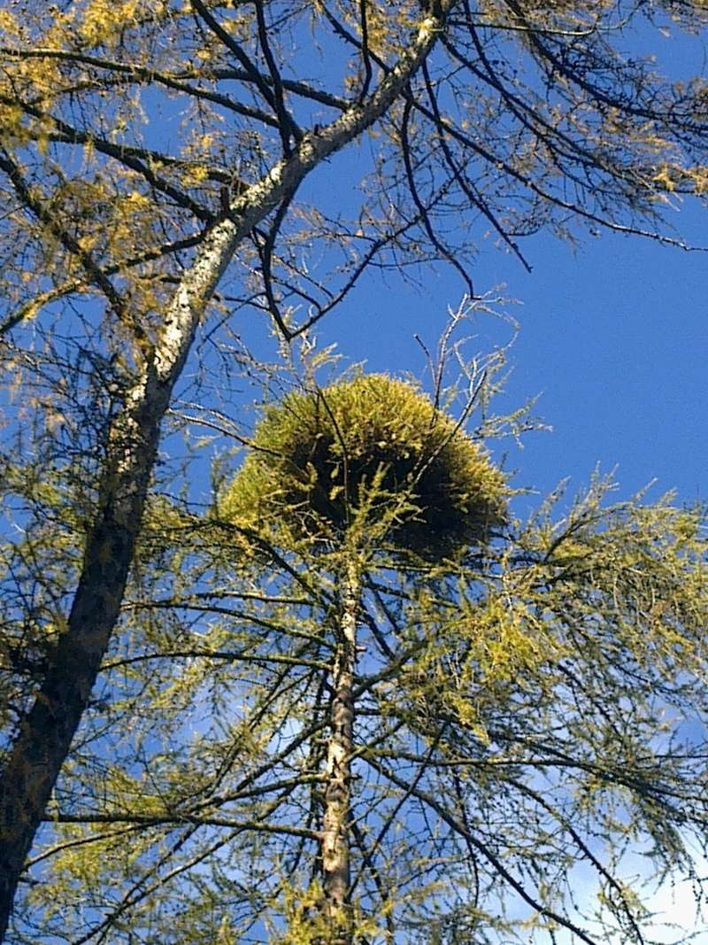 Witch's brom_larch 11112010