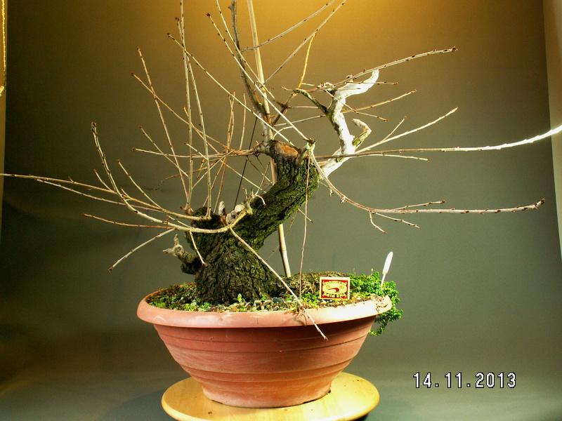 Prunus mahaleb_Zorro Front12