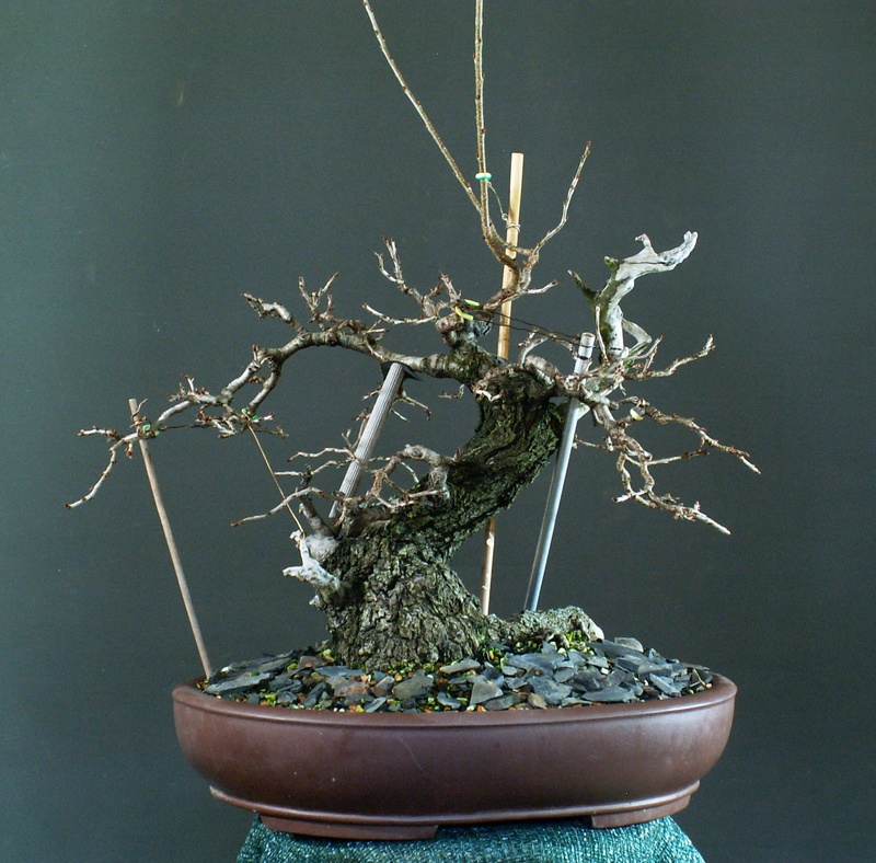 Prunus mahaleb_Zorro Front13