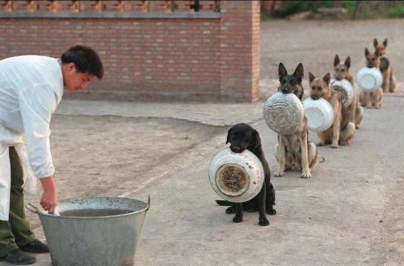 chiens de combat américains Cheins10
