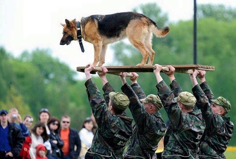 chiens de combat américains Chien_12