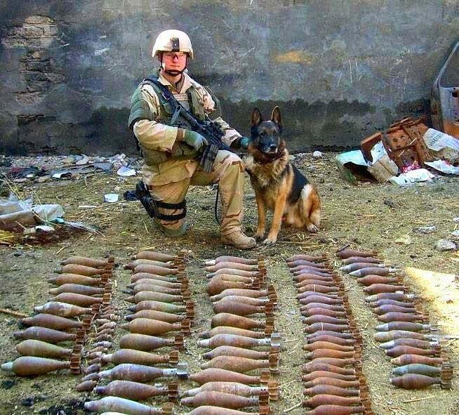 chiens de combat américains Chien_19